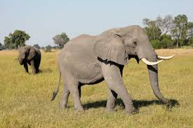 Botswana's Growing Elephant Population Creates Conflict with ...